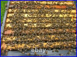 Working Colony Of Honey Bees In National Hive. Complete
